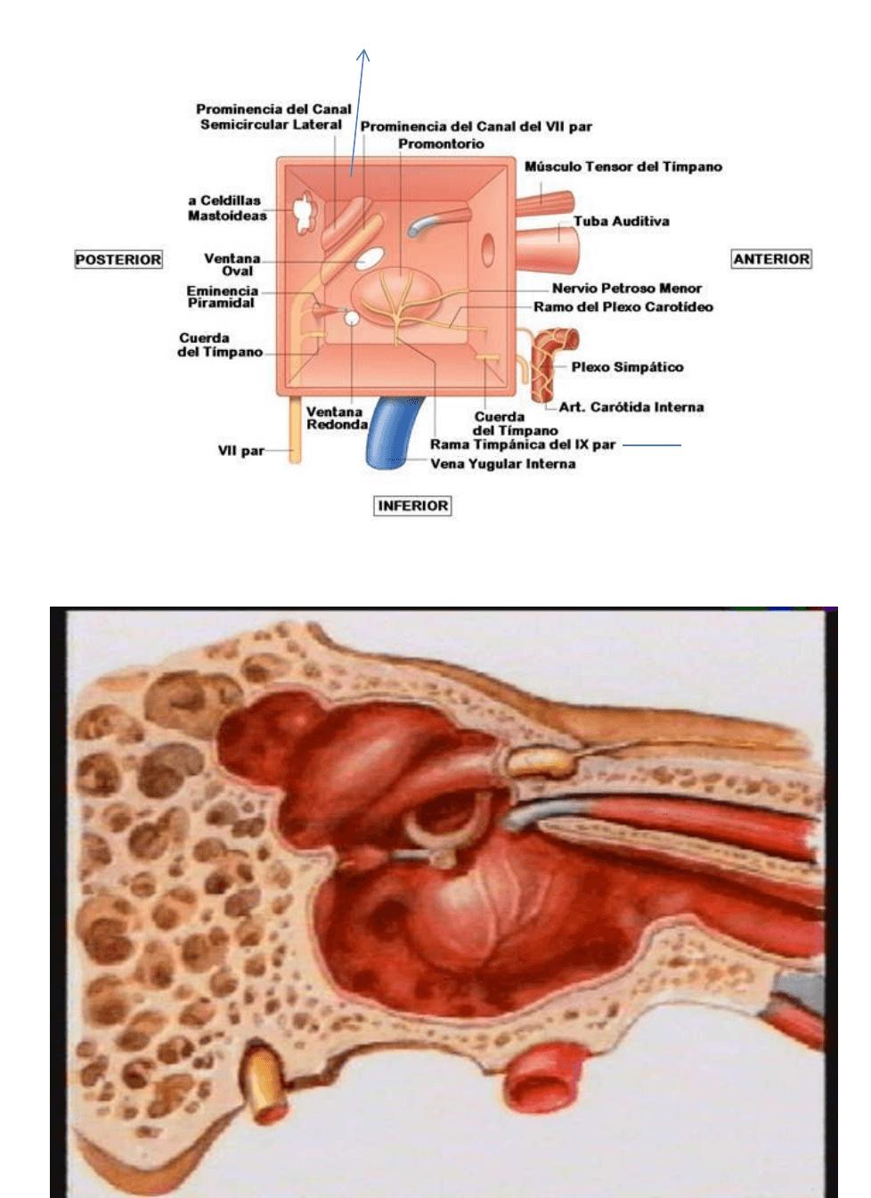 Resumen Oído | Anatomia Normal | Medicina UNC | | Filadd